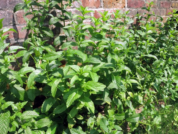 My wild mint garden