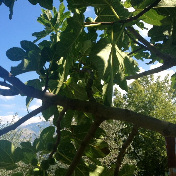 Fig tree in our backyard here in Salle - can you spy the Majella in the background? ;)